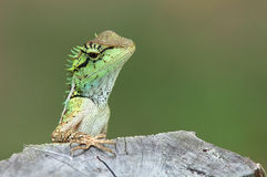 Green lizard with stump in nature Stock Image