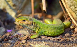 Green lizard in the sun. Green lizard enjoying the sun.The filfola lizard or Maltese wall lizard (Podarcis filfolensis) is a species of lizard in the Lacertidae stock images