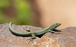 Green lizard in the sun Stock Photo