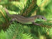 Green lizard sunbathing. On a pine tree branch stock photo