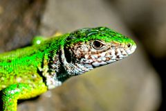 A green lizard on the sunshine Royalty Free Stock Photos