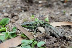 Green lizard without tail Stock Photography