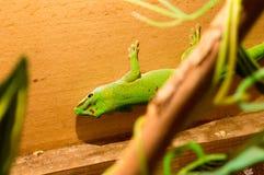 Lizard in terrarium. Green lizard at the terrarium Stock Image