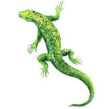 Green lizard, top view, isolated, watercolor illustration on white Stock Photo