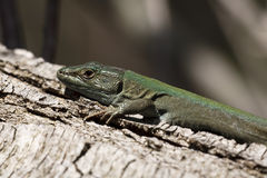 Green lizard on tree Royalty Free Stock Images