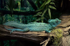 Green lizard on a tree branch. Stock Photography