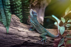 Green lizard on a tree branch. Stock Image