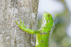 Green lizard on a tree trunk, known as Iguana Royalty Free Stock Images