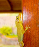 A green lizard in the tropics Stock Photography
