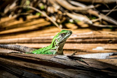 Green Lizard - Tulum, Mexico Stock Images