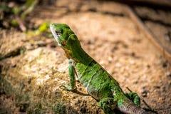 Green Lizard - Tulum, Mexico Royalty Free Stock Image