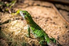 Green Lizard - Tulum, Mexico Stock Photos