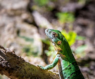 Green Lizard - Tulum, Mexico Stock Photography