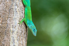 Green lizard. Green turquoise lizard on a tree in Guadeloupe Royalty Free Stock Image