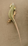 Green lizard walking on brown fabric Royalty Free Stock Photography