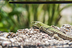 Green lizard walking on the stone wall Royalty Free Stock Images