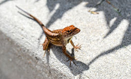 Green Lizard on White Concrete Floor Stock Image