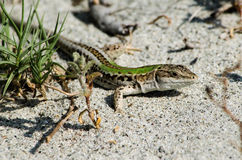 Green lizard Stock Photos