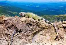 Green lizard at wildness. Against mountain landscape Stock Photos