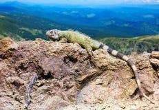 Green lizard at wildness Stock Photos