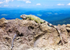 Green lizard at wildness. Area against mountain landscape Royalty Free Stock Images