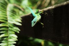 Green Lizard on Wood Stock Photo