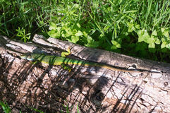 Green lizard. Royalty Free Stock Images