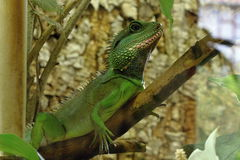 Green Lizard in the Wood Royalty Free Stock Photo