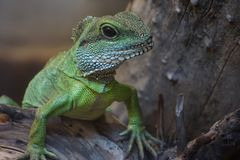 Green lizard on the wood. Green lizard on wood in the therarium Royalty Free Stock Photos