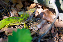 Green lizard in the woods detail. In Czech Republic National Park royalty free stock photography