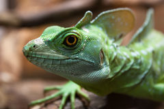The green lizard Stock Image