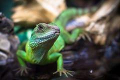 Green lizards stock photo