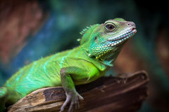 Green lizards Stock Photo