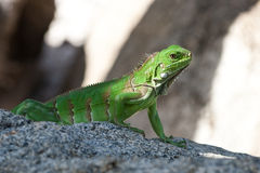 Green Lizzard. Picture of a young lizzard on a rock in Palm Beach, Aruba stock photography