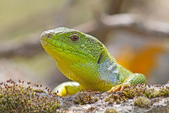 Green Lizzard Looking Royalty Free Stock Photo