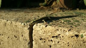 Green lizard. On a stone on a sunny day Stock Photo