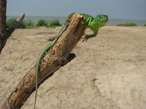 Green lizzard on a tree Stock Photo