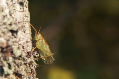 Green Locust. On a tree macro shot Stock Photo