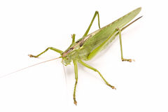 Green locust Royalty Free Stock Photos