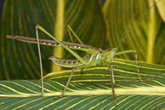 Green locust. Grasshoppers, crickets, katydids and locusts are medium-sized to large insects with bulky bodies.  The hind legs are modfied for jumping.  They are Stock Photo