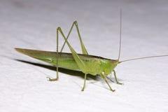 Free Green Locust Stock Photos - 30004813