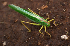 Green locust. Big green locust on earth Stock Photography