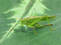 Green Locust.Closeup. Stock Photo