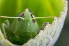 Green locust detail Stock Photo