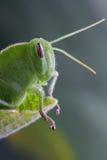 Green locust detail Stock Images