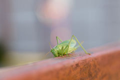 Green locust on fence. Macro green locust pest sitting on a brown fence Royalty Free Stock Photography