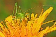 Green locust on flower Stock Image