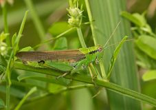 Green locust on a grass leaf Royalty Free Stock Photography