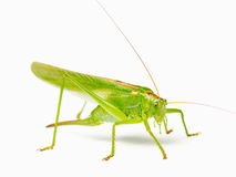 Green locust isolated on a white background. Large yellow-green grasshoppers with big whiskers on a white background Stock Image
