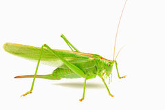 Green locust isolated on a white background Stock Photography